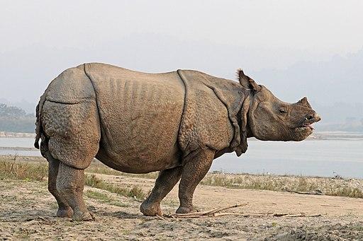 Indian rhinoceros (Rhinoceros unicornis) 4