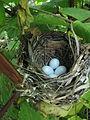 Indigo Bunting nest.jpg