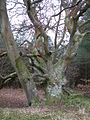 Interesting tree, Ringwood Forest - geograph.org.uk - 101997.jpg