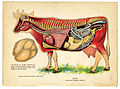 Interior of a cow from The Household Physician, 1905 (14147237759).jpg