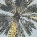 Iraqi Palm Tree.jpg