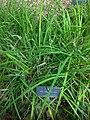 Iridaceae Iris Unguicularis in Madrid.jpg