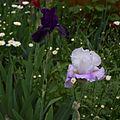 Iris Flower in Full Bloom 04.jpg