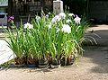 Iris ensata var ensata4.jpg