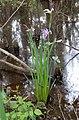 Iris giganticaerulea 15250193.jpg