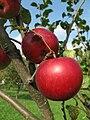Jablka (18).jpg