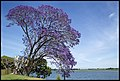 Jacaranda by Clarence River bank-1 (22692743855).jpg