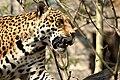 Jaguar edin zoo.jpg