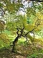 Japanese Threadleaf Maple Tree at Esperanza Farm (October 11, 2011).jpg