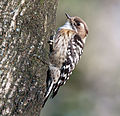 A Japanese pygmy woodpecker