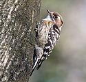 Japanese pygmy woodpecker in Sakai, Osaka, February 2016.jpg