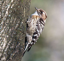 Japanese pygmy woodpecker in Sakai, Osaka, February 2016.jpg