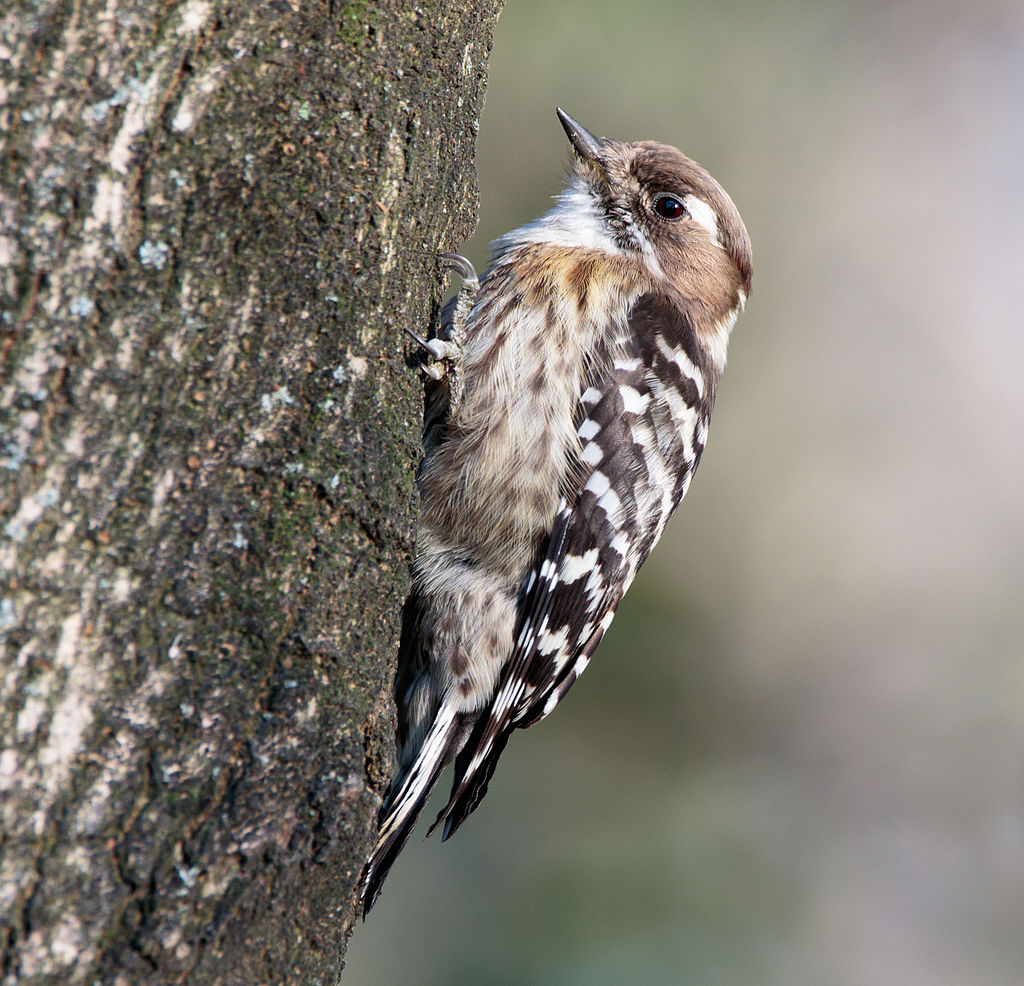 1024px-Japanese_pygmy_woodpecker_in_Saka