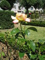 Jardim de Santa Bárbara (rosa amarela 2).JPG