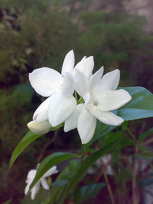 Jasminum sambac - 'Maid of Orleans'