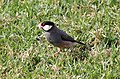 Java Sparrow (Lonchura oryzivora) (25859675874).jpg