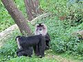 Jibea macaques lion apenheul 2016.jpg
