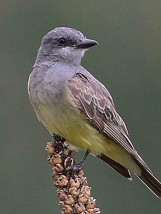 John Cassin - Cassin's Kingbird
