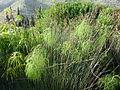 Juncus acutus (Jardín Botánico Canario Viera y Clavijo).jpg