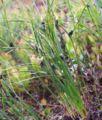 Juncus trifidus a1.jpg