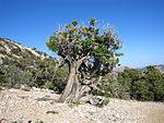 Juniperus osteosperma Beaver Dam Mountains Nevada.jpg