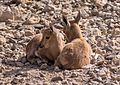 Juvenile Nubian ibex (50851).jpg