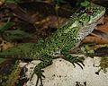 Juvenile male of Enyalioides binzayedi - ZooKeys-277-069-g008-top.jpg