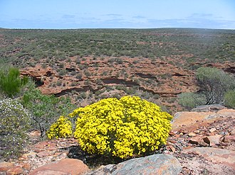 Kalbarri National Park - Verticordia chrysantha