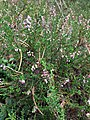 Kanerva (Calluna vulgaris) kukkimassa.jpg