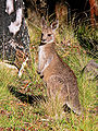 Kangaroo - eastern grey joey444.jpg