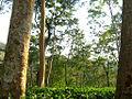 Kaptai tea-garden.jpg