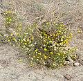 Karoo Bush (Pentzia incana) (32545992226).jpg