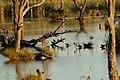 Kerang Ibis Rookery Reedy Lake.jpg