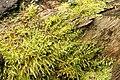 Kindbergia.praelonga.2.jpg