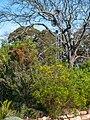 Kirstenbosch National Botanical Garden, Cape Town (P1060034).jpg
