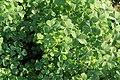 Kluse - Oxalis tuberosa 15 ies.jpg