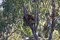 Koala (Phascolarctos cinereus).jpg