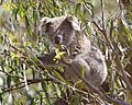 Koala (Phascolarctos cinereus) - Flickr - Lip Kee.jpg