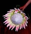 Koning protea - king protea - Flickr - Lollie-Pop.jpg