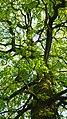 Korina 2010-04-26 Aesculus hippocastanum.jpg