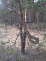 Krzywe drzewo 2.JPG