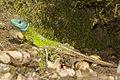 Lacerta schreiberi 04 by-dpc.jpg