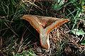 Lactarius deliciosus bisected WFalls orig.jpg