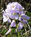 Lady's Smock (Cardamine pratensis) (3414542647).jpg