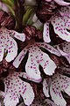 Lady Orchid - Orchis purpurea - panoramio (45).jpg