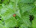 Ladybird on nettles (21907907658).jpg