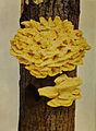 Laetiporus sulphureus 1904.jpg