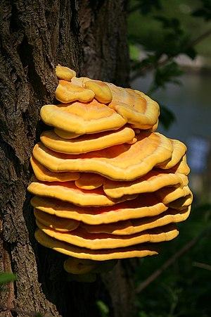 Laetiporus sulphureus - Image: Laetiporus sulphureus big