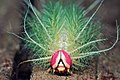 Lagarta Saturniidae Intervales 01.jpg