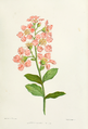 Lagerstromia-indica.png